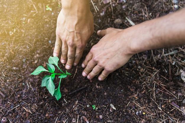 Cultive las manos que plantan la planta de semillero en jardín