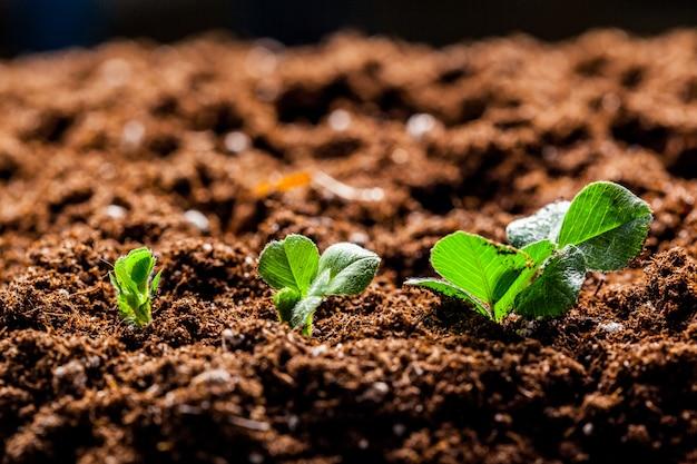 Cultivo de brotes jóvenes de semillero de maíz verde en un campo agrícola cultivado
