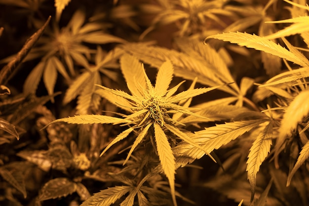 Cultivo de brotes de marihuana verde medicinal. cultivar marihuana en interiores bajo una lámpara de descarga de sodio caliente spektr.