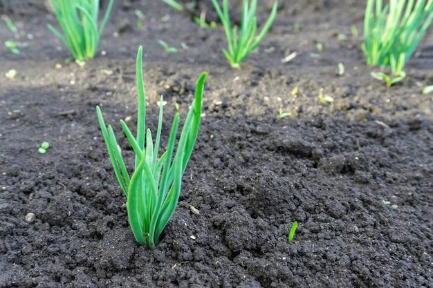 Cultivo de brotes de plántulas de maíz verde joven en campo agrícola agrícola cultivado