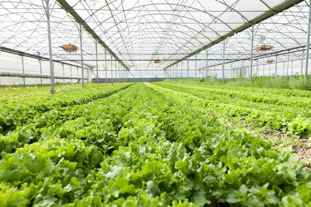 Cultivo de ensalada ecológica en invernaderos.