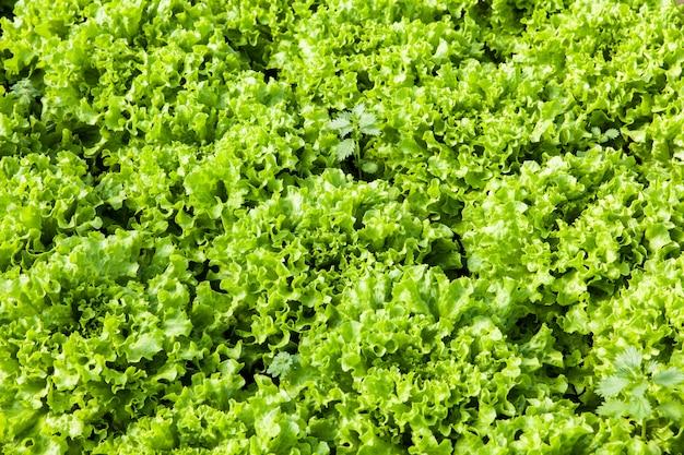 Cultivo de ensalada orgánica en invernaderos.