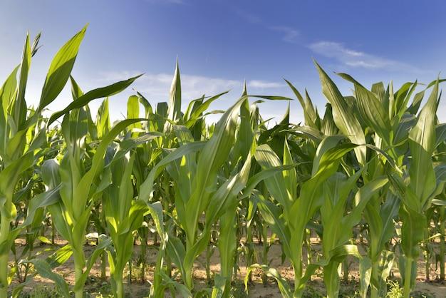 Cultivo de maíz que crece en un campo bajo cielo azul.