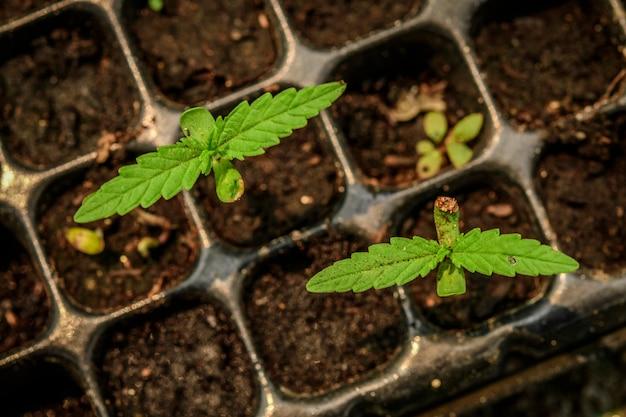 Cultivo de marihuana a partir de semillas.