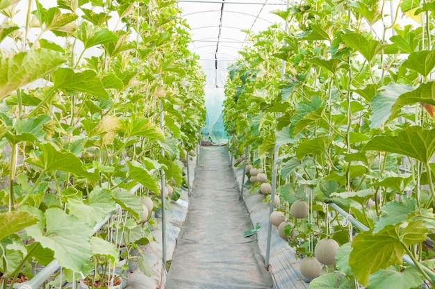 Cultivo de melones en invernadero, melón joven en granja orgánica