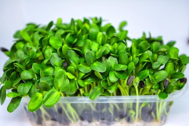 Cultivo de microverduras frescas, brotes crudos en condiciones de invernadero en casa.