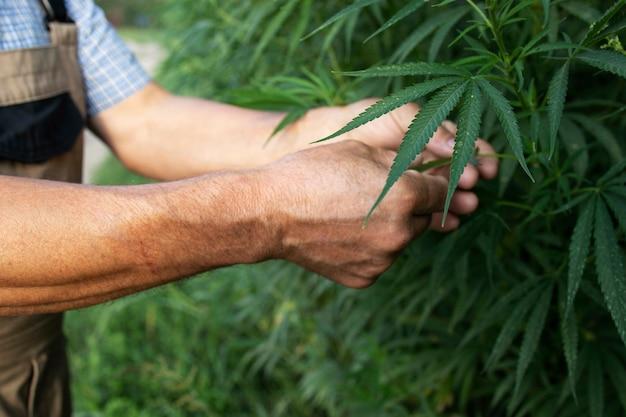 Cultivo de plantas de cannabis o cáñamo para la medicina alternativa