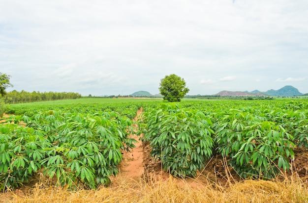 Cultivo de yuca en tailandia