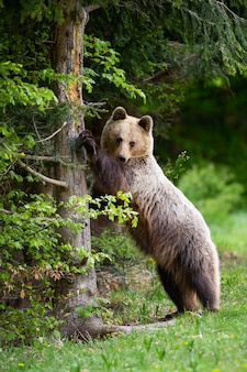 Curioso oso pardo de pie en posición vertical y tocando el árbol en primavera
