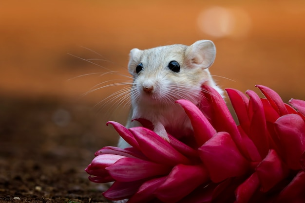 Cute jerbo fat tail se arrastra sobre flor roja garbil fat tail en flor
