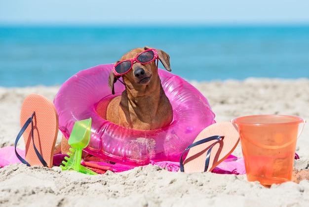 Dachshund en la playa