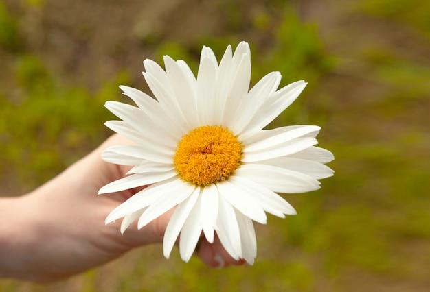 Daisy en manos de una niña adivinando sobre una margarita sobre el amor.