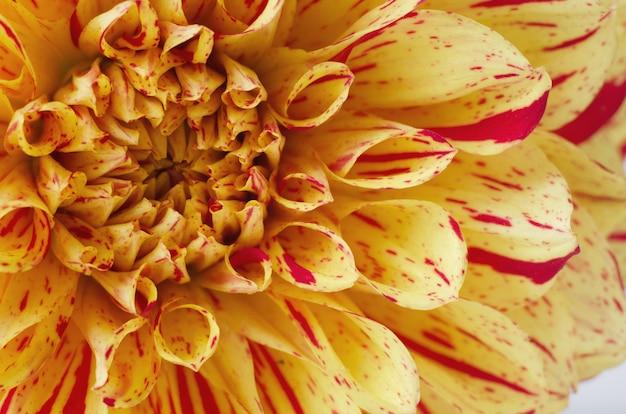 Dalia amarilla brillante contra el fondo blanco. concepto romántico de otoño.