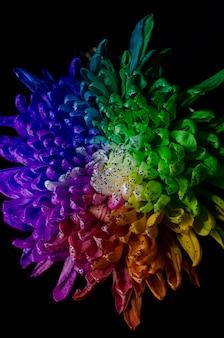 Dalia de color arcoiris.