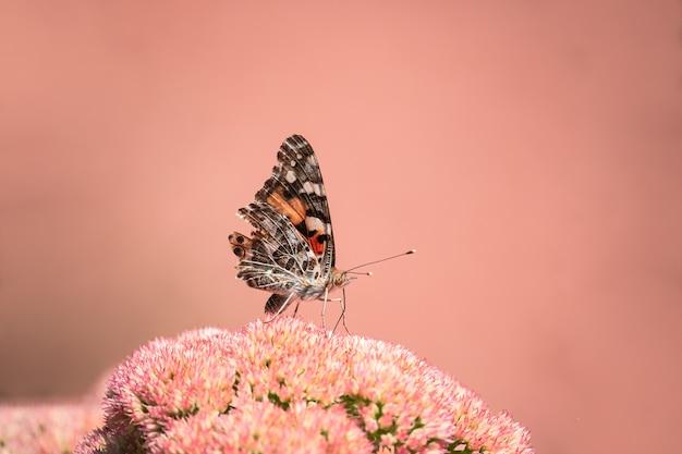 Una dama pintada, cosmopolita (vanessa cardui) chupando el néctar de las flores amarillas por la mañana.