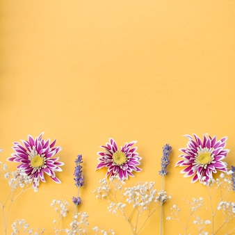 Decoración del aliento del bebé común; flores de crisantemo y lavanda sobre fondo amarillo