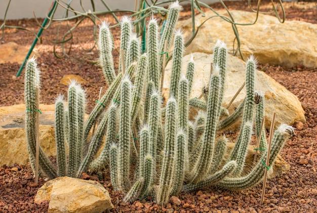 Decoración de plantas de cactus en el jardín.