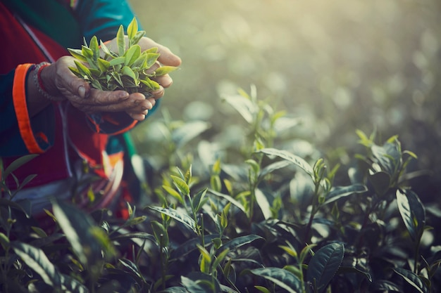 Dedo de la mano de las mujeres recogiendo hojas de té en una plantación de té para el producto