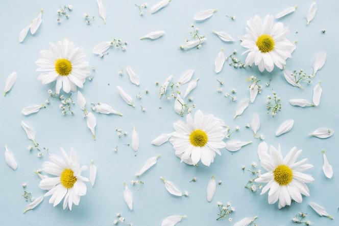 Delicada composición de margaritas, flores de aliento del bebé y pétalos blancos sobre una superficie azul claro