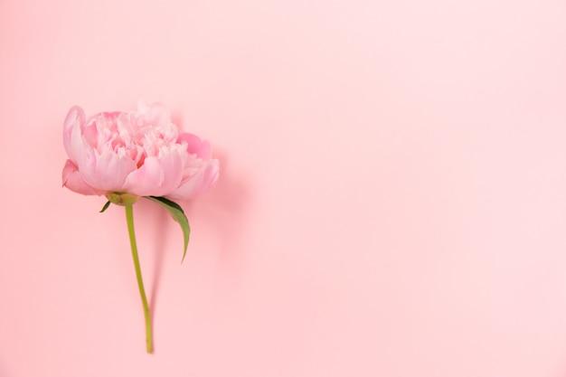 Delicada flor de peonía rosa sobre fondo rosa claro.