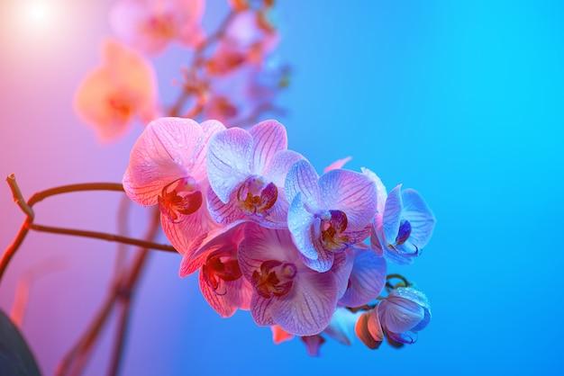 Delicada orquídea rosa con gotas de rocío de cerca en azul claro
