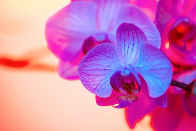 Delicada orquídea rosa con gotas de rocío de cerca sobre fondo azul claro