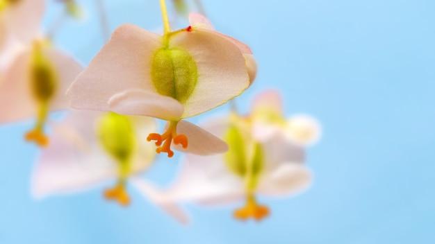 Delicadas flores de begonia blancas y rosadas sobre fondo azul claro