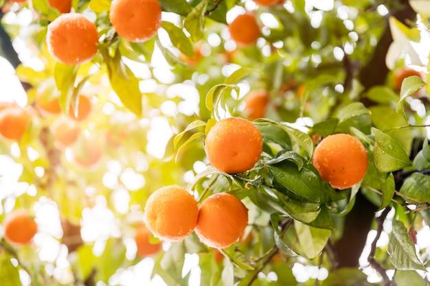 Delicioso cítrico naranja en el árbol.