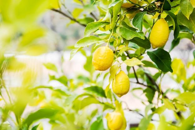 Delicioso limón cítrico en el árbol.