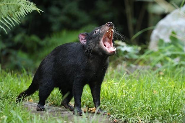 Demonio de tasmania. sarcophilus harrisii
