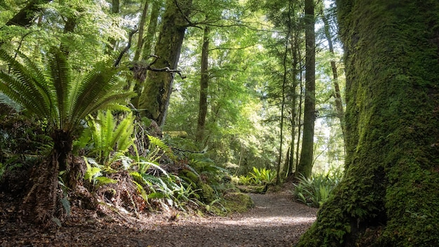 Denso bosque antiguo con helechos y un camino que lo atraviesa kepler track nueva zelanda
