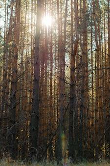 Denso bosque de coníferas. los rayos del sol se abren paso a través de los viejos troncos nudosos de los pinos. vista vertical