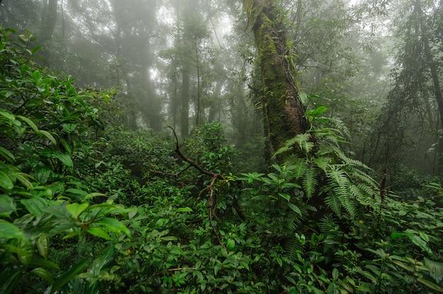 Un denso bosque místico verde con niebla en la mañana, doi phu kha, nan, tailandia