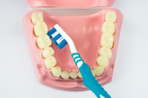 Dentadura para dental sobre fondo blanco.