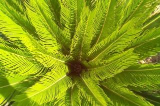 Dentro de una palma sagú