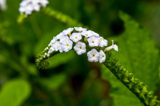 Desenfoque de flor de primer plano de heliotropium indicum hierba
