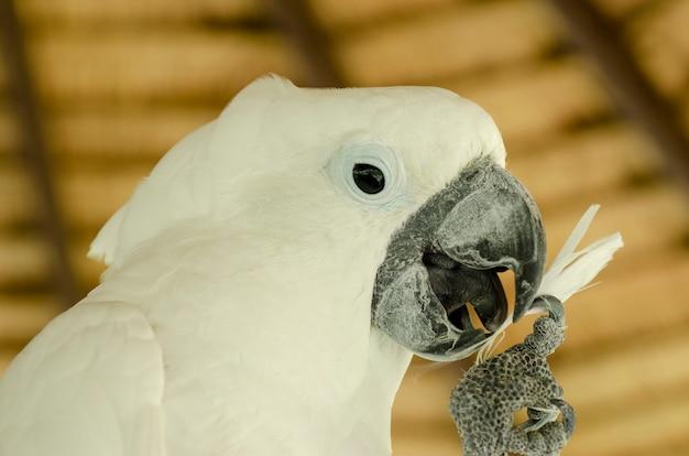 Desenfoque de fondo modelado cacatúa blanca
