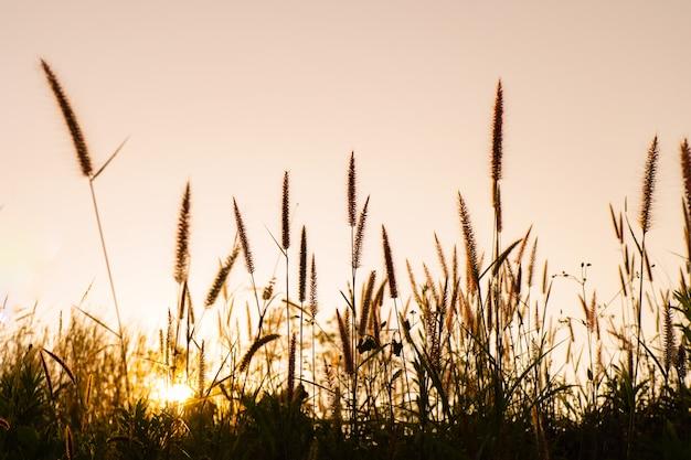 Desho hierba pennisetum pedicellatum en las colinas en el momento de la puesta del sol.