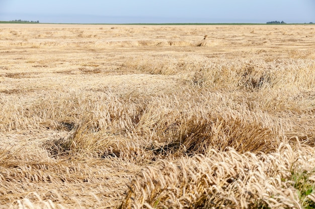 Destruido por la tormenta de trigo - campo agrícola donde después de una tormenta está en el suelo trigo amarillo maduro