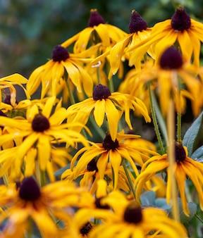 Desvanecimiento amarillo rudbeckia amarillo