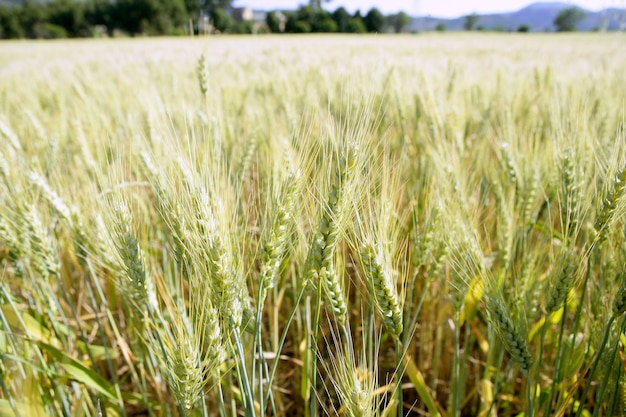 Detalle del campo de trigo verde