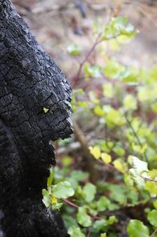 Detalle de carbón de madera bosque quemado después de un desastre de incendio