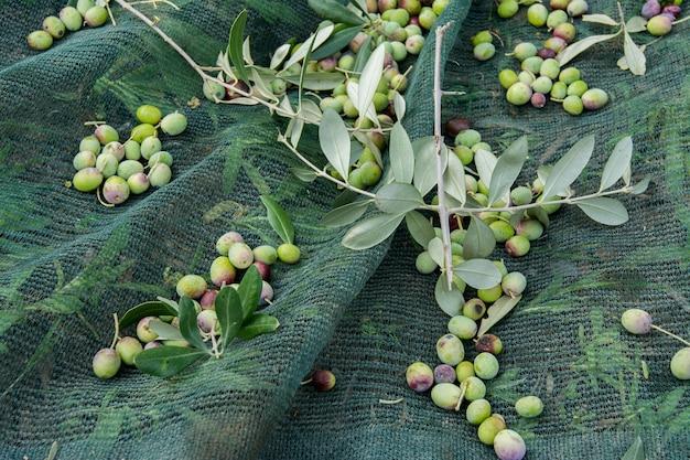 Detalle de cosecha de aceitunas
