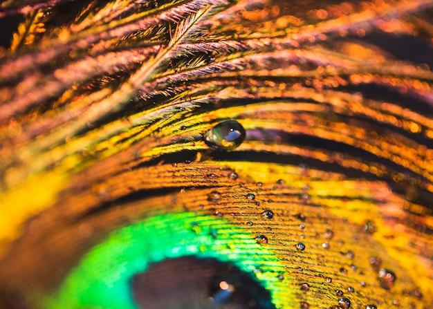 Detalle de gotitas de agua sobre la pluma de pavo real.