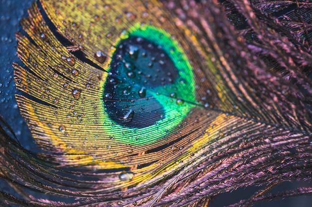 Detalle de la hermosa pluma de pavo real exótica con gota de agua