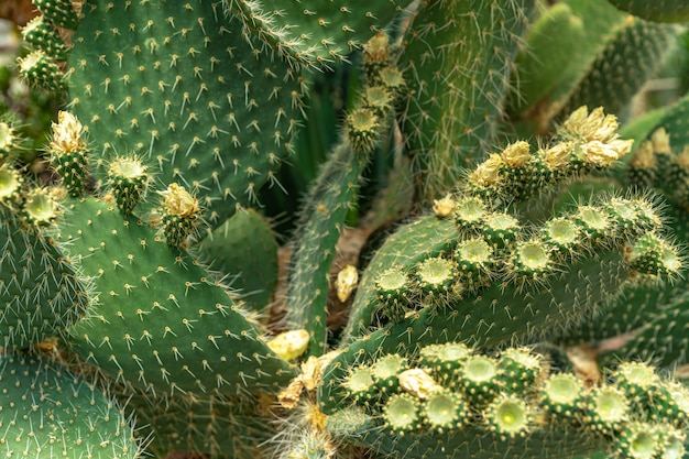 Detalle en una hoja floreciente de cactus opuntia