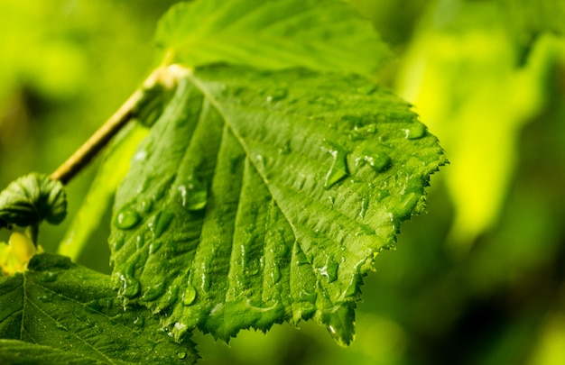 Detalle de una hoja de haya, de color verde brillante, con gotas de agua de la lluvia.