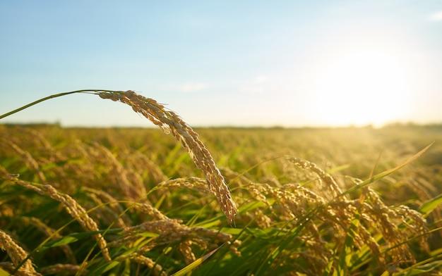 Detalle de la planta de arroz al atardecer en valencia, con la plantación desenfocada.