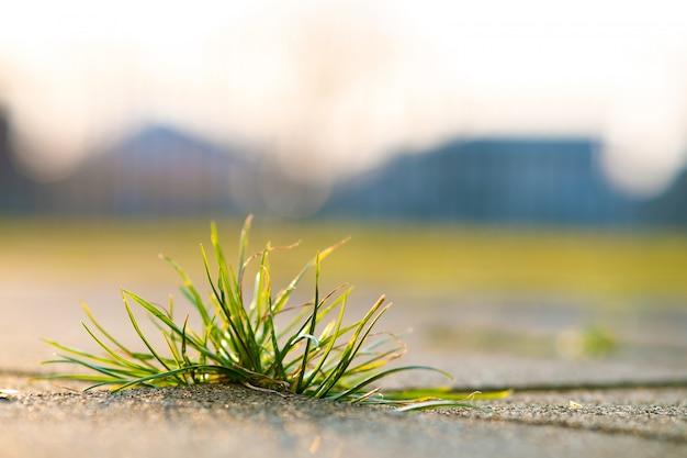 Detalle del primer de la planta verde de la mala hierba que crece entre los ladrillos del pavimento concreto en yarda del verano.
