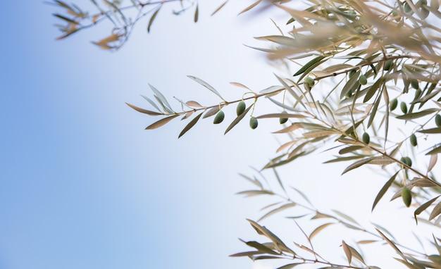 Detalle de la rama de olivo con aceitunas creciendo y fondo de cielo azul